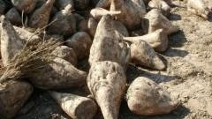 Gmina Ostaszewo: Susza w uprawach buraka cukrowego i ziemniaka