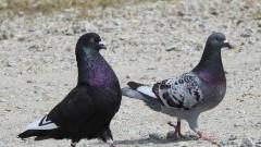 Malbork: Strażnicy miejscy uratowali uwięzione gołębie