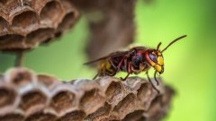 Zagrożenie od rojów lub gniazd owadów. Jak postępować w takich sytuacjach? Informacja Burmistrza Nowego Stawu.