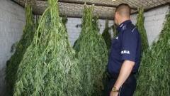 156 krzaków marihuany uprawiał w Malborku. Teraz pożegna się z wolnością nawet na 10 lat.