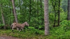 Mierzeja Wiślana. Spotkanie z zebrą w lesie.