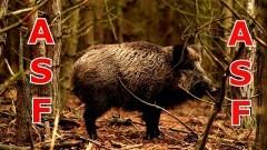Pierwszy przypadek afrykańskiego pomoru świń (ASF) u dzików w województwie pomorskim.