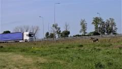 Nowy Dwór Gdański. Samica łosia zginęła pod kołami ciężarówki, a przerażony młody łoś biegał wzdłuż S7.