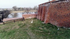 Zmęczony łabędź odpoczywał nieopodal murów obronnych przy Starym Mieście. Został schwytany przez malborską straż miejską - 05.04.2016