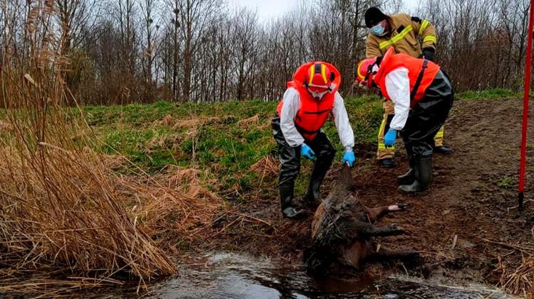 Malbork. Martwe dziki w kanale Stary Nogat.