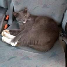 """Zaginął kot """"Siwy"""""""
